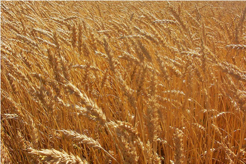 how to plant wheat